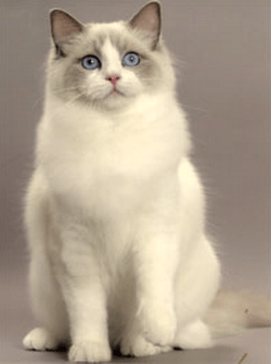 какая порода кошек самая добрая