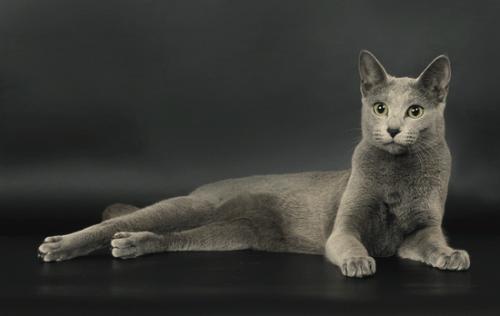 русская голубая порода кошки