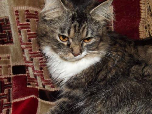 топ самых красивых пород кошек, 10 самых красивых пород кошек