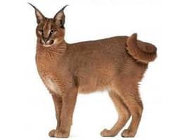 порода кошек каракал, фото