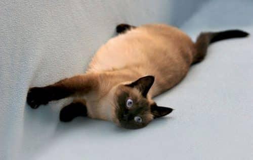 сколько кошка ходит беременной