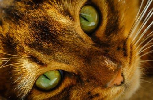 стригущий лишай у кошки
