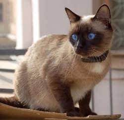 породы сиамских кошек, фото
