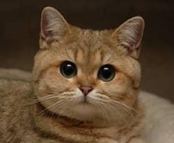 Британская короткошерстная кошка: описание, фото, стандарт ...