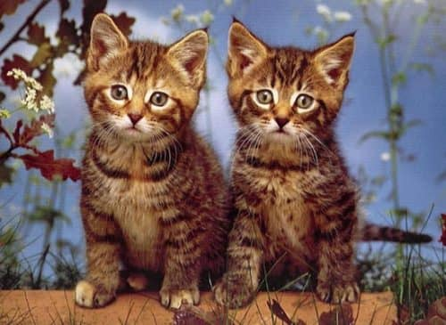 какая порода кошек самая лучшая