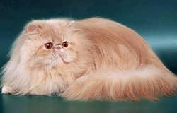 какая порода кошек самая спокойная