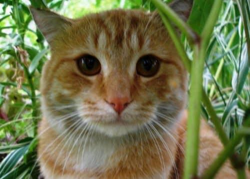 самые преданные породы кошек