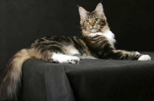 самая большая порода домашних кошек