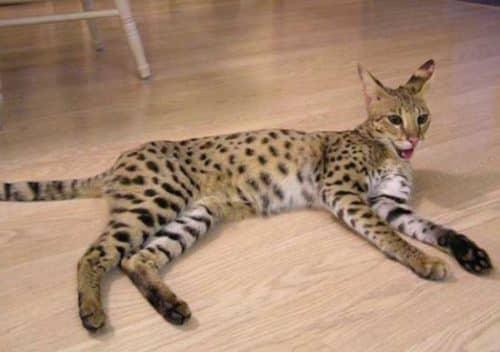 порода самой большой домашней кошки