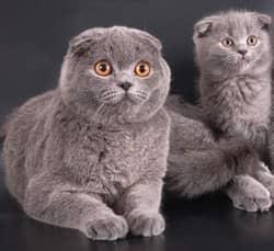 породы шотландских кошек, фото
