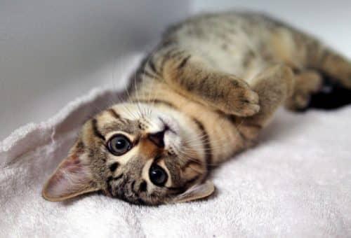 какие бывают виды кошек