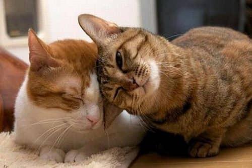 какие кошки самые ласковые