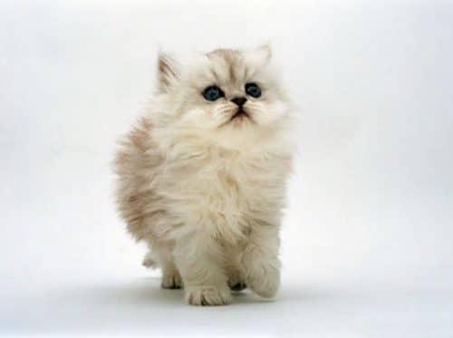 лечение пищевой аллергии у кошек