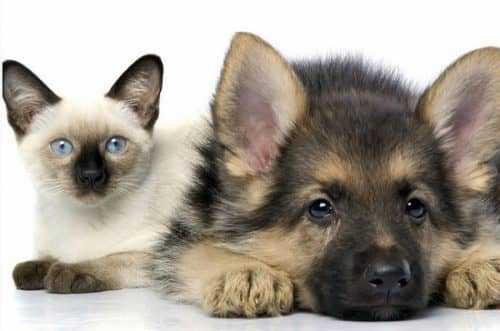 как приучить собаку к кошке