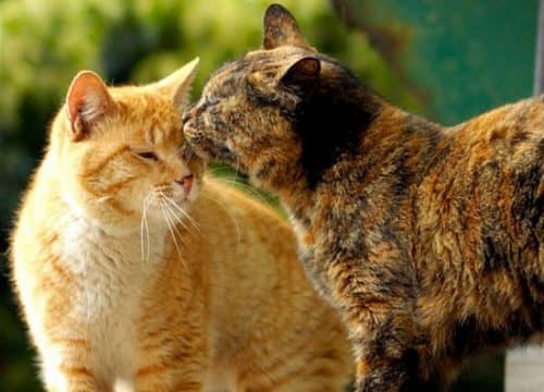 две кошки в квартире