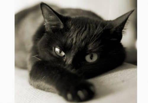 к чему снится черная кошка
