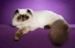 виды домашних кошек