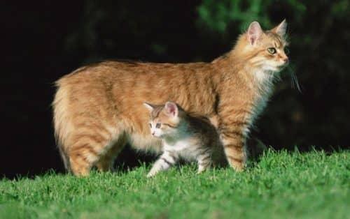 как приучить кошку к котенку