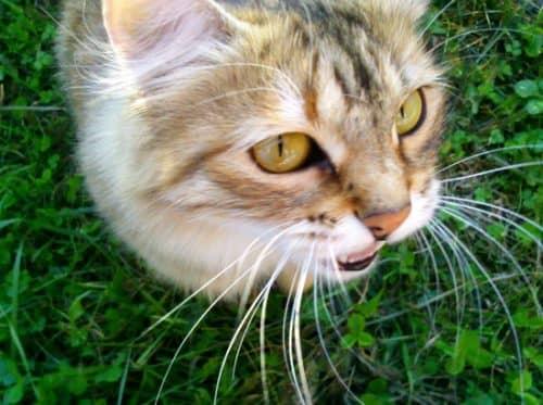 первые признаки беременности кошек