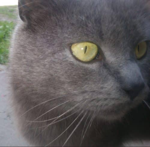 как правильно кормить британского котенка