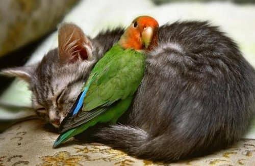 приучить котенка к попугаю