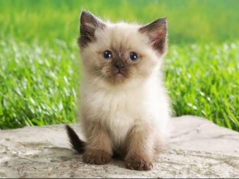 сколько стоит сиамский котенок