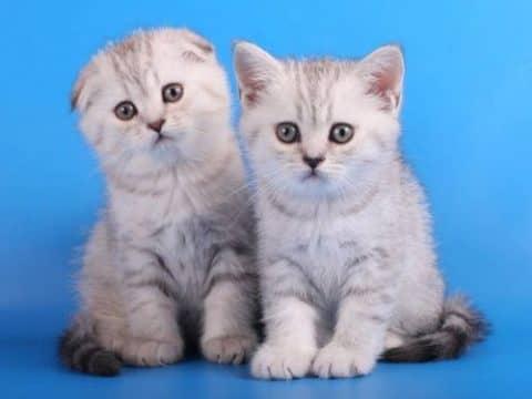 уход за шотландскими котятами