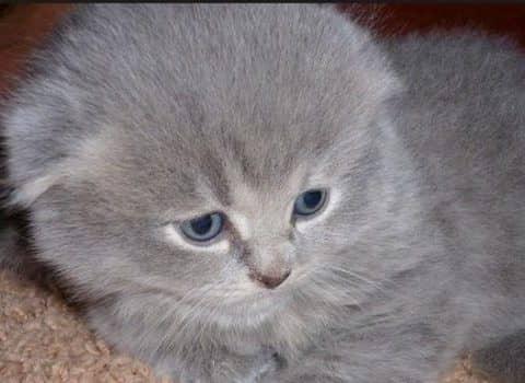 сколько стоит вислоухий котенок