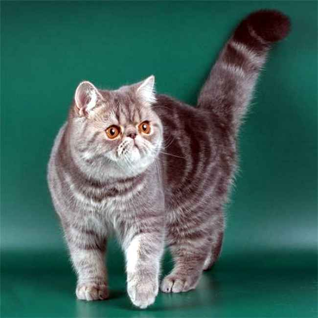 Порода котов с плоской мордой