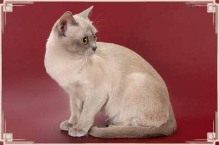 Бурманская короткошерстная кошка