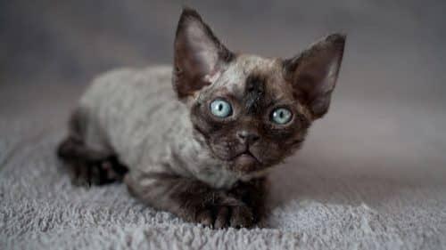 Фото кота девон-рекс