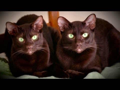 Кошка шоколадного окраса