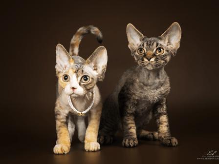 Кошка и кот девон-рекс