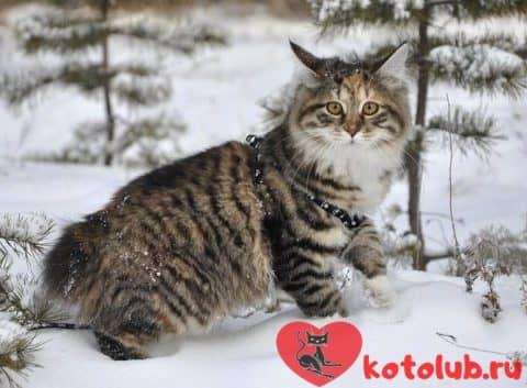 Кот курильский бобтейл