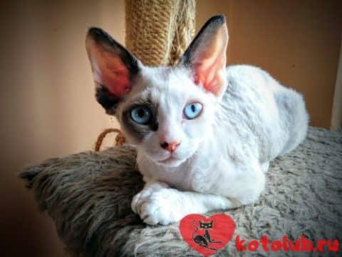 Кошка орегон-рекс