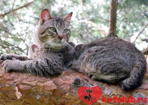 Фото кошки пиксибоб